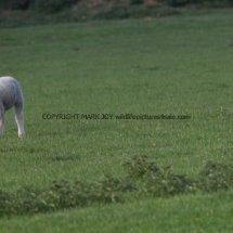 Magpie (Albino) (18)