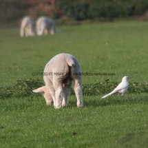Magpie (Albino) (3)