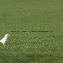 Magpie (Albino) (4)