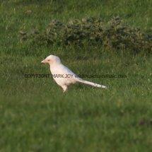 Magpie (Albino) (5)