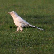 Magpie (Albino) (7)