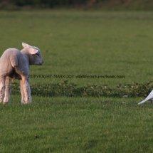Magpie (Albino) (8)