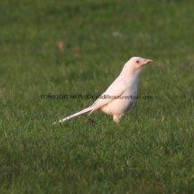 Magpie (Albino) (9)