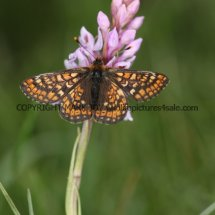 Marsh Fritillary (17)