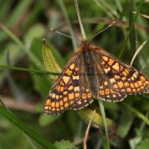Marsh Fritillary (20)