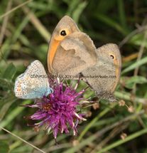 Meadow BRowns mating