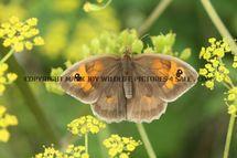 Meadow Brown 444 (2)
