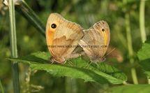 Meadow Brown 55 (1)