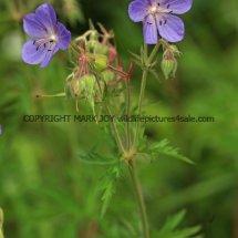 Meadow Cranesbill 2