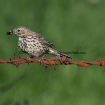 Meadow Pipit (1)