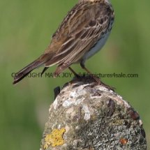 Meadow Pipit (3)