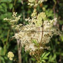 Meadow Sweet (Filipendula ulmaria) (1)