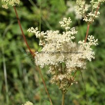 Meadow Sweet (Filipendula ulmaria) (2)