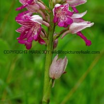 Military Orchid Orchis militaris 18.5.17 (10)