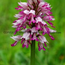 Military Orchid Orchis militaris 18.5.17 (12)