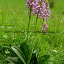 Military Orchid Orchis militaris 18.5.17 (16)