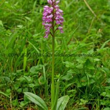 Military Orchid Orchis militaris 18.5.17 (19)