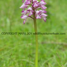 Military Orchid Orchis militaris 18.5.17 (2)