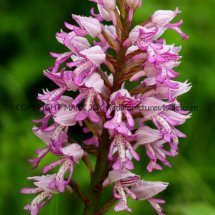 Military Orchid Orchis militaris 18.5.17 (20)