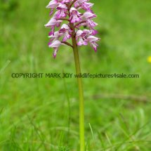 Military Orchid Orchis militaris 18.5.17 (3)