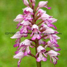 Military Orchid Orchis militaris 18.5.17 (4)
