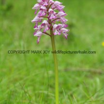 Military Orchid Orchis militaris 18.5.17 (5)