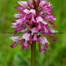 Military Orchid Orchis militaris 18.5.17 (7)