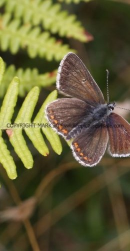 NORTHERN BROWN ARGUS ssp Salmacis (1)
