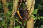 banded Owlet (Opsiphanes tamarindi) (1)