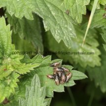 Nettle Ground-bug (Heterogatser  urticae) (1)