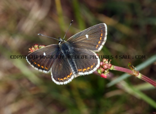 Northern Brown Argus 1 (3)