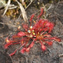 Oblong-leaved Sundew (Drosera intermedia)