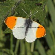 Orange Tip (2)