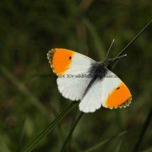 Orange Tip (9)