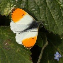 Orange Tip (26)