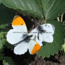 Orange Tip male and female (10)
