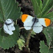 Orange Tip male and female (2)