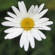 Oxeye Daisy (Leucanthemum Vulgare) (1)