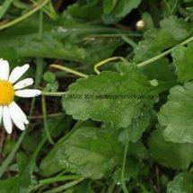 Oxeye Daisy (Leucanthemum Vulgare) (2)