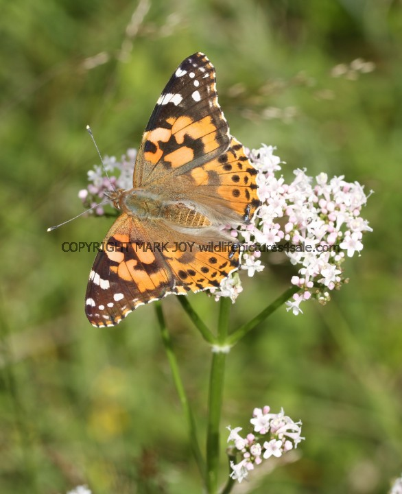 Painted Lady (1)