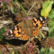 Painted Lady (15)
