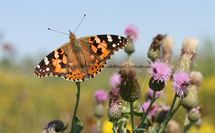 Painted Lady (16)