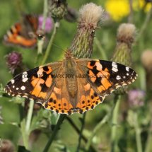 Painted Lady (17)