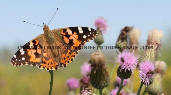 Painted Lady 7 (1)