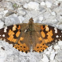 Painted Lady (7)