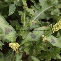 Pale Persicaria (Persicaria lapathifolia) (2)