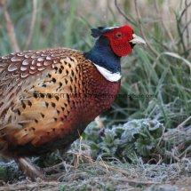 Pheasant (15)