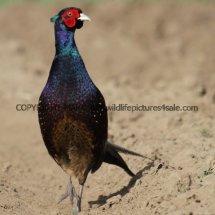 Pheasant (17)