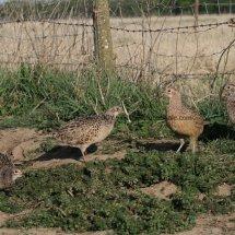 Pheasant (3)