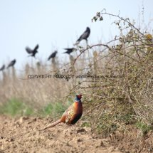 Pheasant (8)